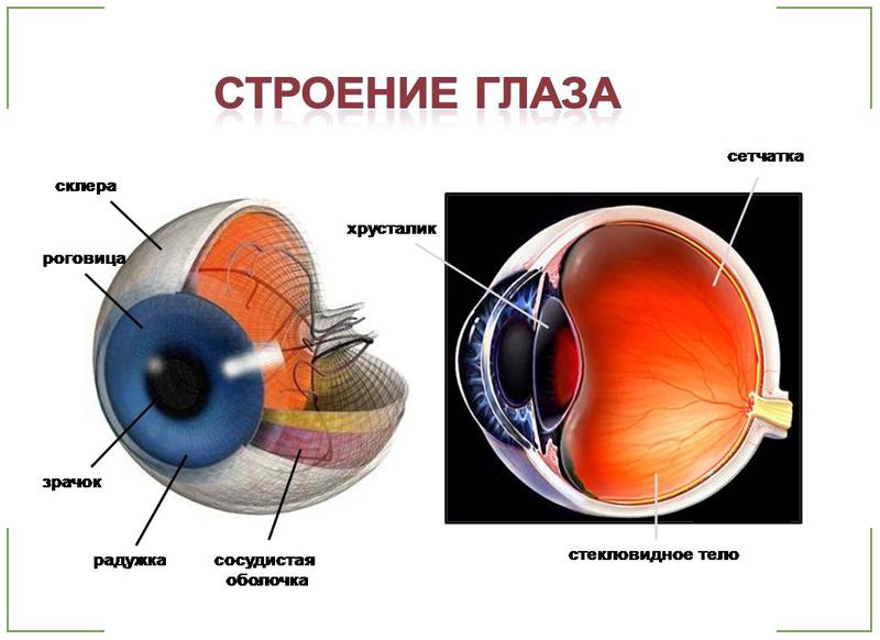 глаз строение глаза человека картинки для что