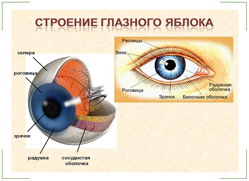 Внутренняя ось глазного яблока проходит